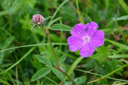 Fleur violette du Burren